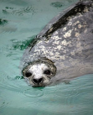 Harbor Seal Sweetness, Point Defiance Zoo ©Rose De Dan 2012