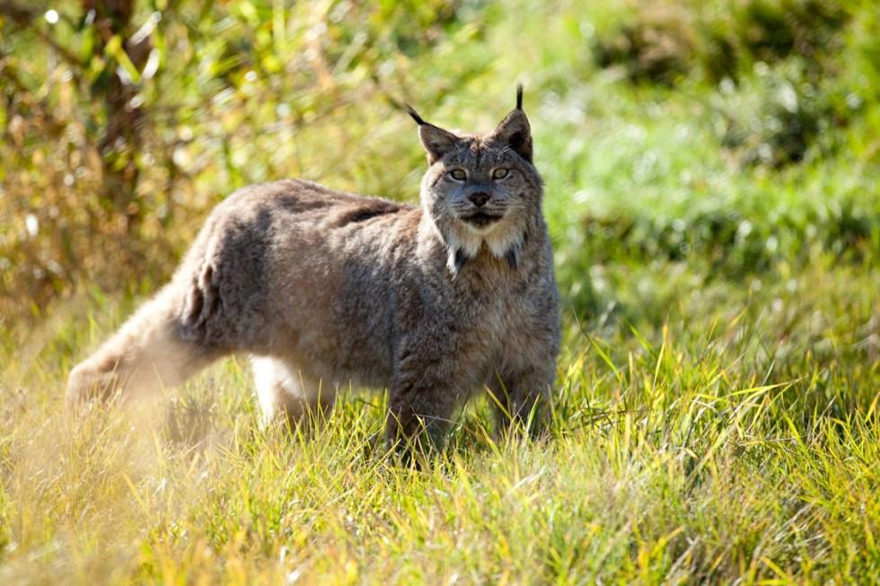 Lynx Elmo at Earthfire Institute, Photo: ©2014 Andrew Hinton