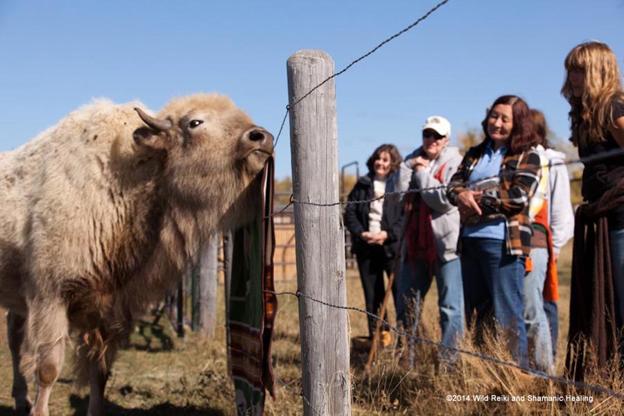 Nima investigates the Buffalo Blanket at WWS 2014, ©Andrew Hinton, www.reikishamanic.com