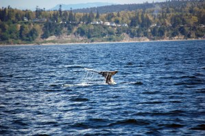 Audio Whale Teachers #1: Gray Whales
