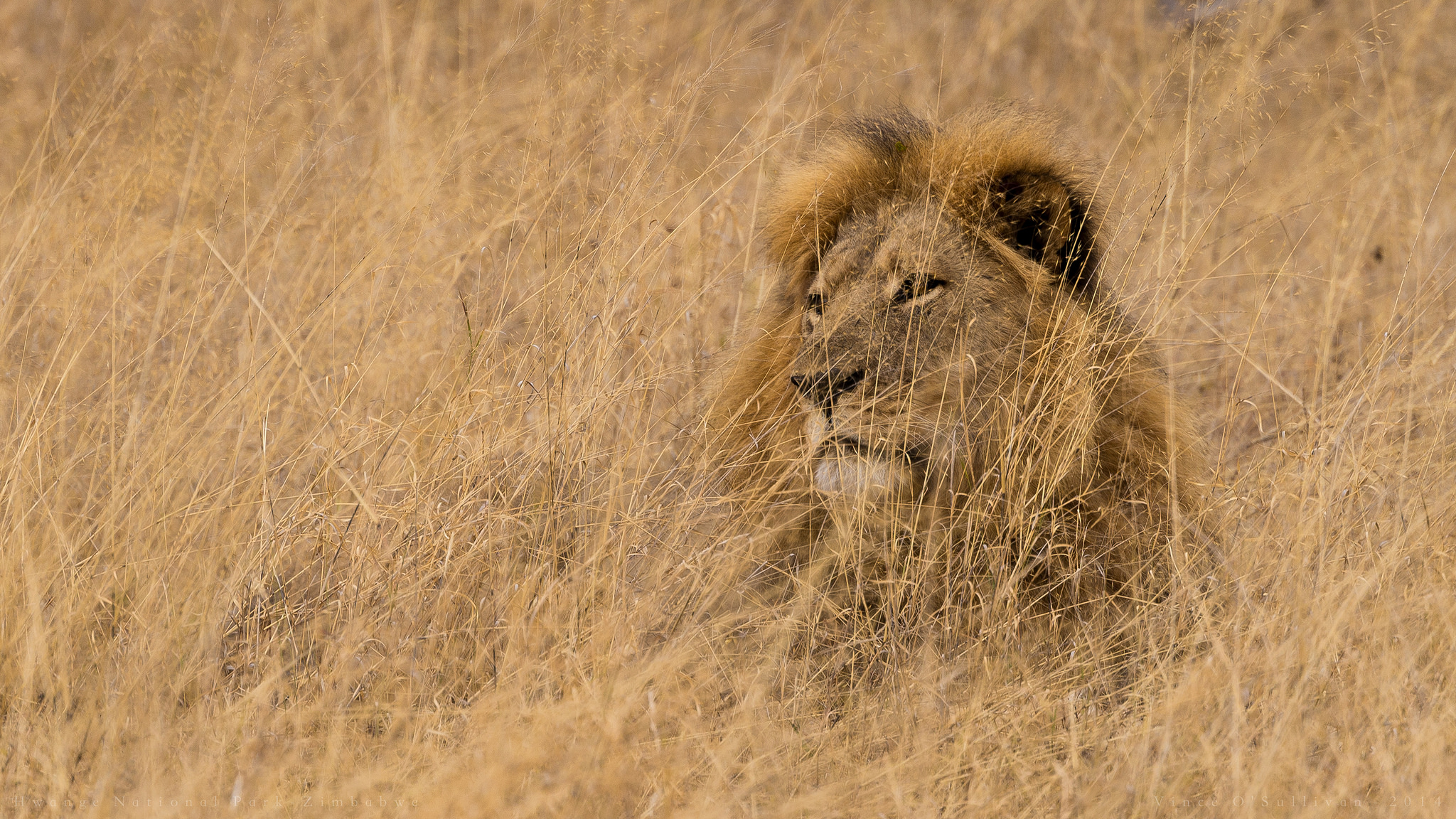 Death Of Cecil The Lion And The Path To Healing