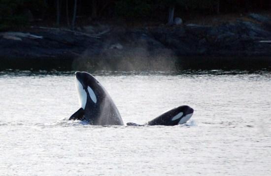 Orca Spy Hop Duo, Whale Teachers, ©Rose De Dan www.reikishamanic.com