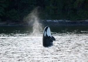 Audio Whale Teachers #2: The Orcas