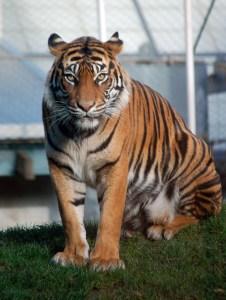 Tiger Master Teacher Jaya, ©Rose De Dan www.ReikiShamanic.com