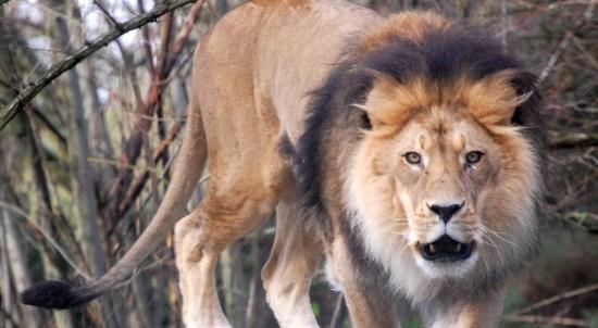 Lion Stare, ©2008 Rose De Dan www.reikishamanic.com