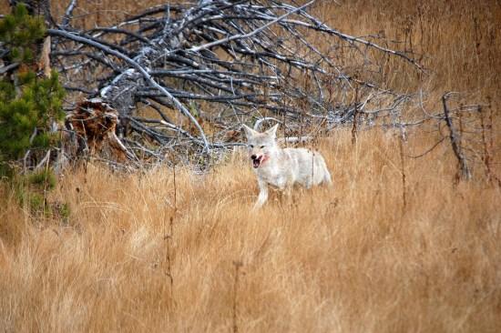 Coyote approach 1, Yellowstone, ©Rose De Dan 2015 www.reikishamanic.com