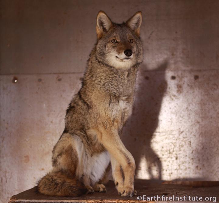Shaman Coyote Healing