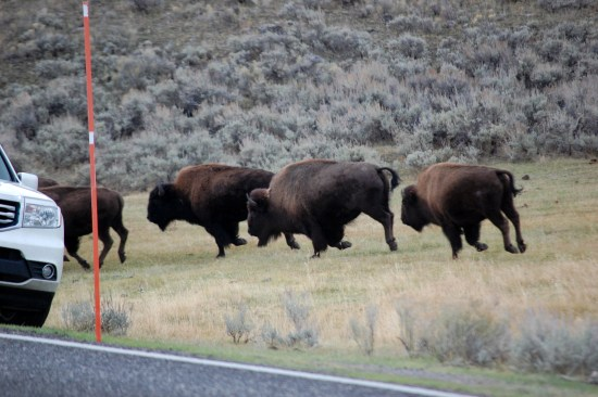 Buffalo Running to Council, Rose De Dan www.ReikiShamanic.com