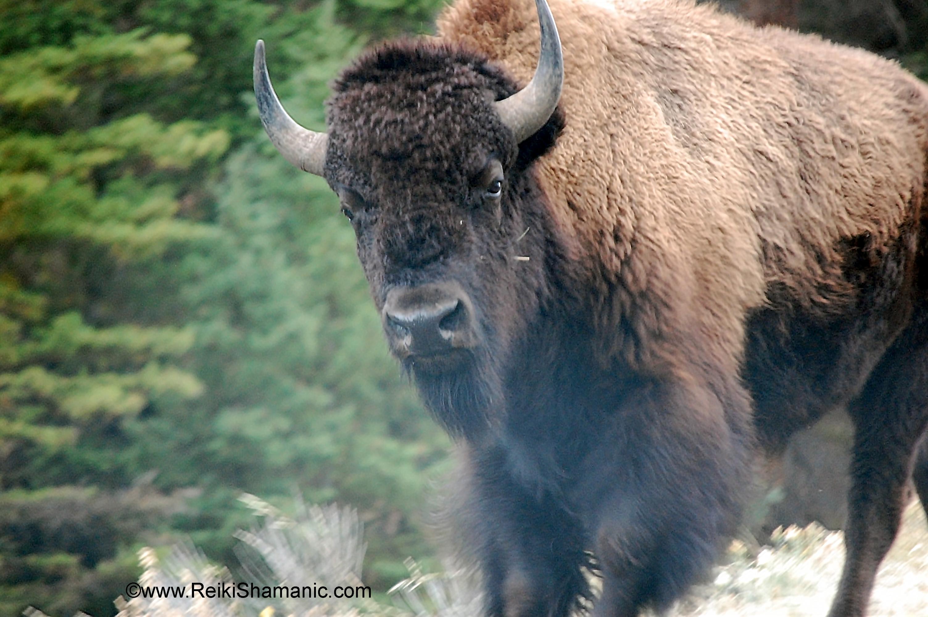 Yellowstone Buffalo Hard Look, ©Rose De Dan Www.ReikiShamanic.com