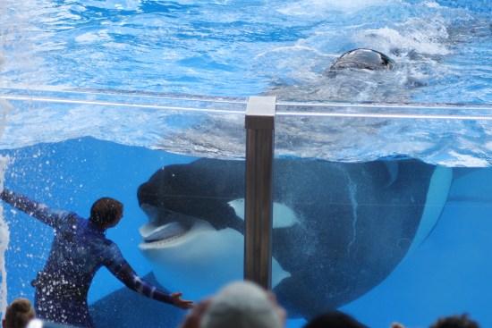 Orca Tilikum, Photo: Claudine Moyer-Records, ©Rose De Dan www.ReikiShamanic.com