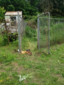 Some of the older chickens take over the new enclosure.