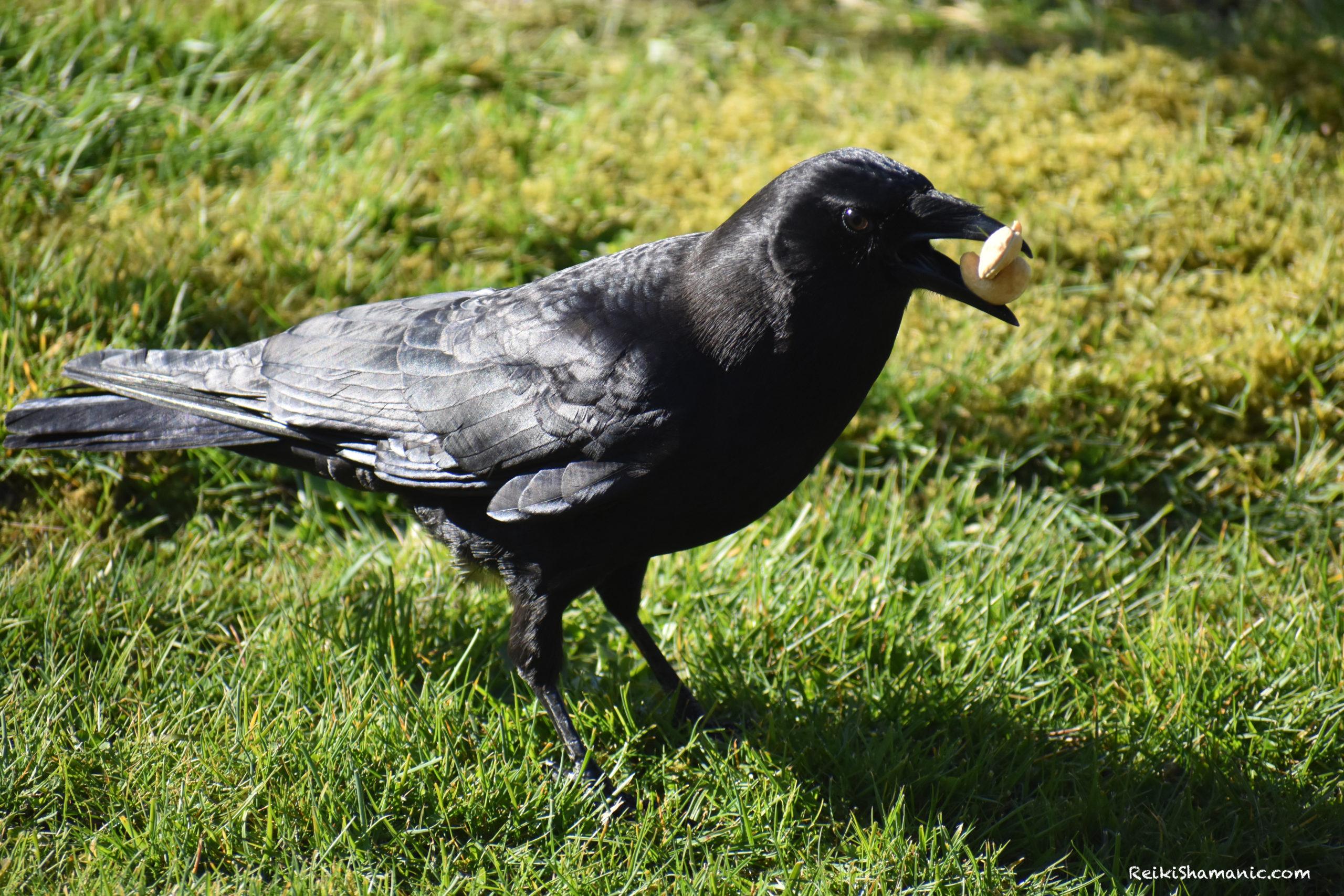 Cashews For Crow Rogue