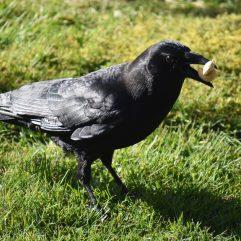 Crow Rogue with Two Cashews, ©Rose De Dan, www.ReikiShamanic.com