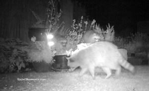 Raccoon Kits Enjoy Playtime At The Wild Reiki Spa
