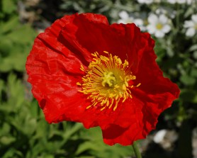 iceland_poppy_papaver_nudicaule_champagne_bubbles_red_flower