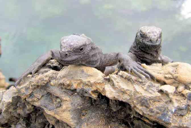 Zeeleguanen, Islet Las Tintoreras, Galapagos