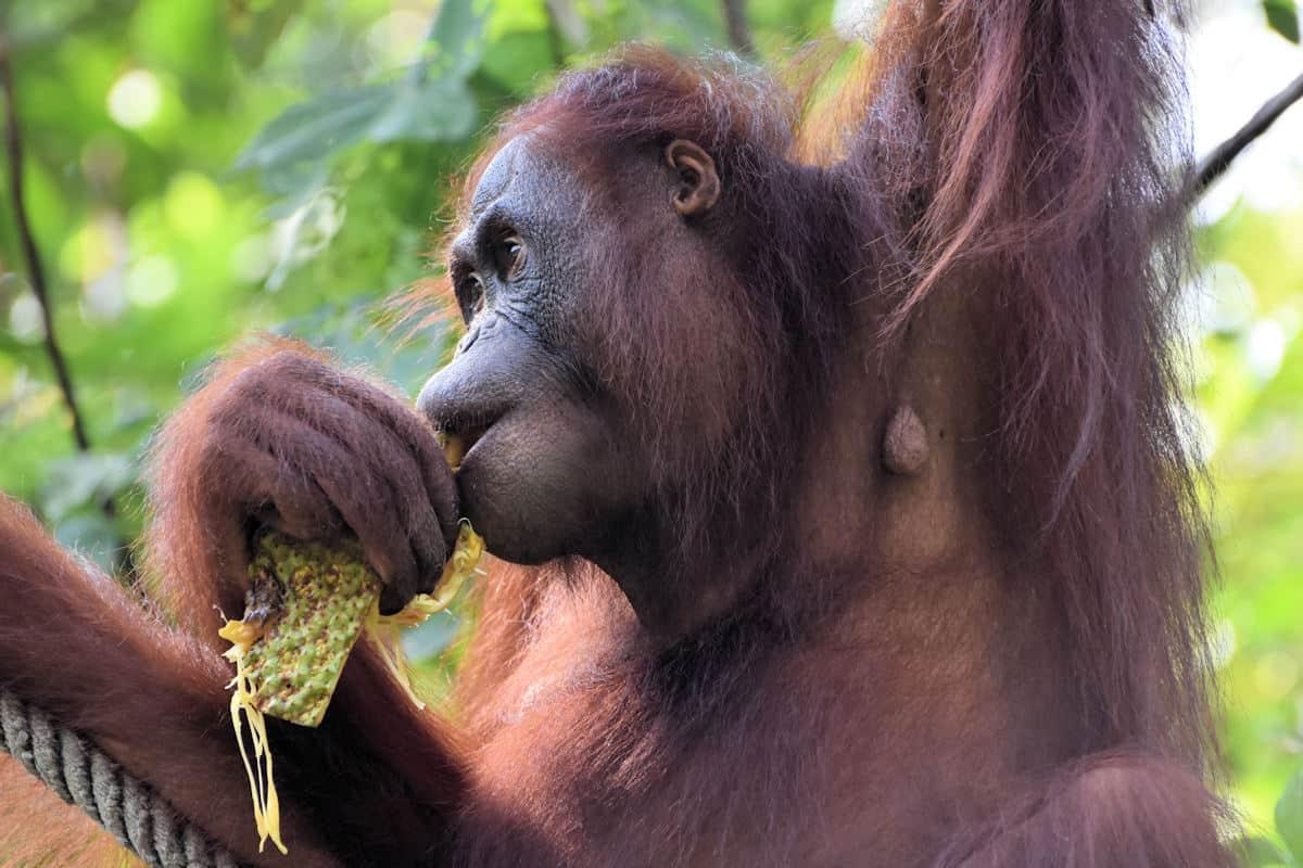 Semenggoh Wildlife Rehabilitation Center, Kuching, Sarawak