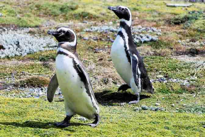 Magelhaenpinguïn, Chili, Patagonië