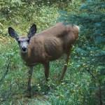 Reh/ deer, Jasper NP