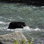 Schwarzbär, Bear, Jasper NP