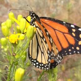 Monarch Schmetterling