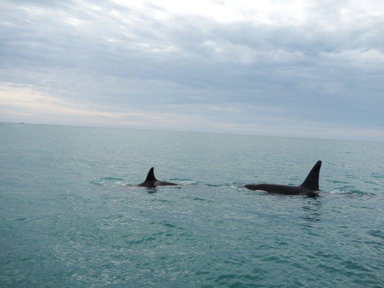 Auf unserem Weg zu den Delfinen begegneten wir noch diesen wundervollen Tieren - Orcas