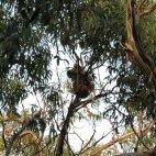 Ein entfernter Koala
