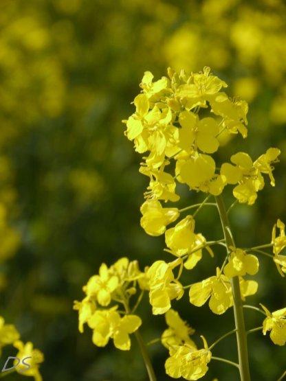Raps in voller Blüte