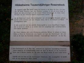 Der 1.000-jährie Rosenstock