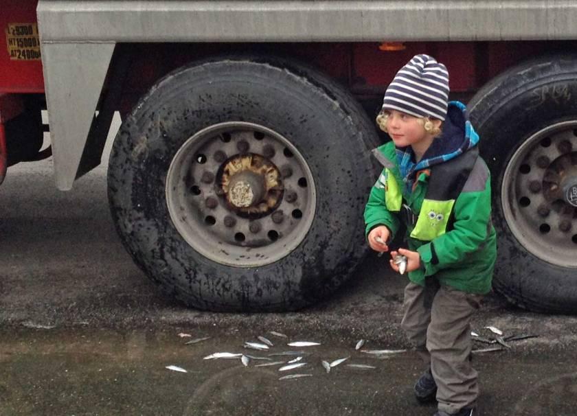 Kind sammelt Sprotten in Kappeln ander Schlei, die von einem LKW gefallen sind