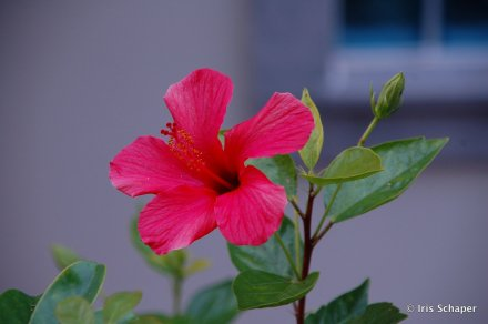 Hibiskusblüte Madeira