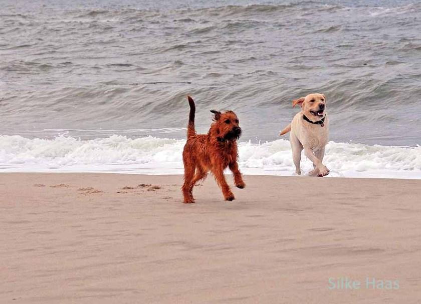 Labrador und ein Irish Terrier am Sylter Strand