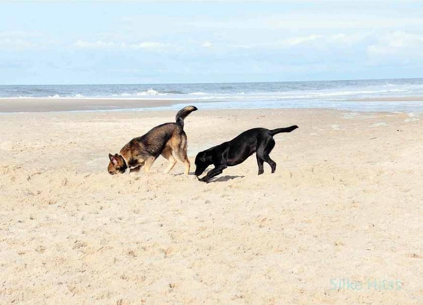 Zwei Hunde schnüffeln am Strand