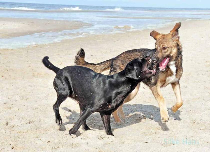 Zwei Hunde spielen am Sylter Strand