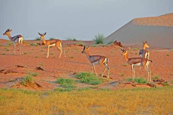 Antilopen in der Wüste