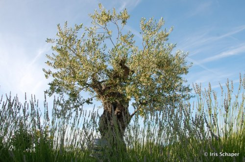 olivenbaum-bei-oma-jola-in-kroatien