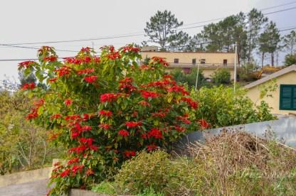 Weihnachsstern wächst als riesiger Busch auf Madeira