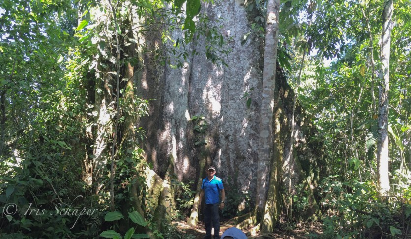 riesige Brettwurzeln Kapokbaum