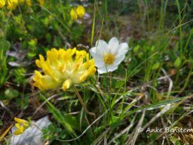 Alpenblumen in der Schlick 2000_4_Reisefeder