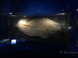 Wie bei diesem Ichthyosaurier gibt es neben den Fossilien bzw. Repliken kleine Bildschirme, auf denen man sich interaktiv über die Ausstellungsstücke informieren kann