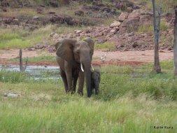 Elefanten Matusadona Park. Kura
