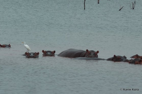 Flusspferde im Karibasee 1. Kura