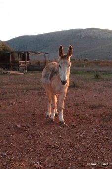 Esel gehört zur Familie auf El Campillo. Kura_preview