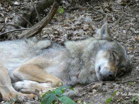 müder Wolf Reisefeder Benstem Wolfcenter Dörverden
