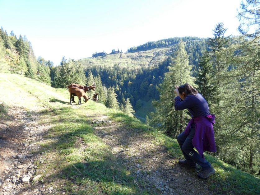 Alpbachtal Reisefeder Berge Alpen Benstem Ziegen
