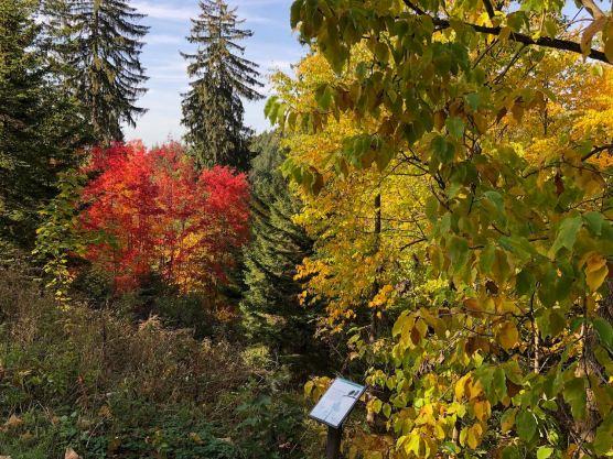 Gurkenmagnolie im Indian Summer im Weltwald Harz