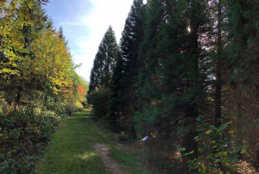 Mammutbäume im Harz