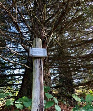 Riesenmammutbaum mit Schild