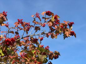 Rote Beeren mit Herbstlaub