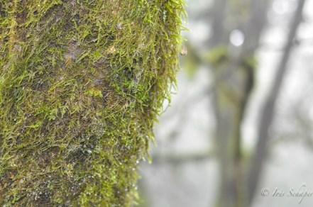Wassertröpfchen auf Moos im Nebelwald